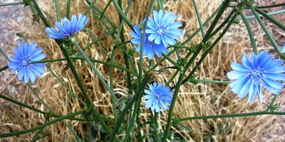 Цикорий - мамулечкин цветок
