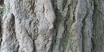 Гинкго двулопастный и его секреты