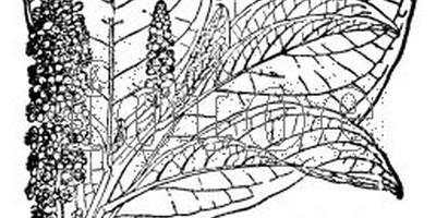 Фитолакка фитолакке рознь