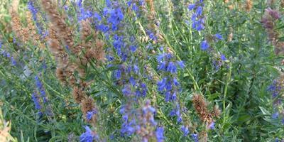 Священная трава - иссоп
