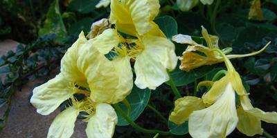 Деликатесное растение - настурция