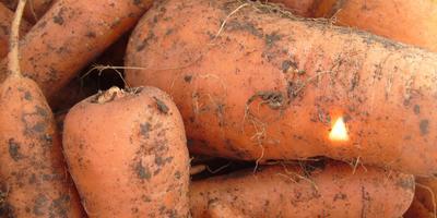 Красная девица - морковь