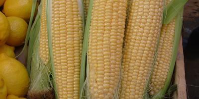 Атрибут ушедшего лета - кукуруза