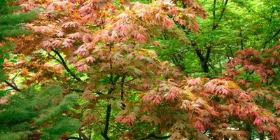 Осенний наряд клёнов
