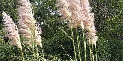 Нарядные султаны пампасской травы