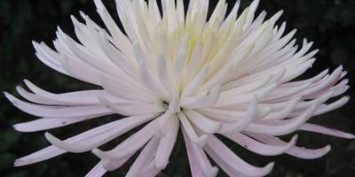 8 королев балов хризантем Никитского ботанического сада