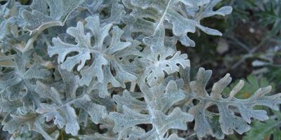 Серебристая красавица - цинерария приморская