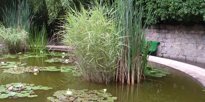 Тростник обыкновенный - защитник водоёма