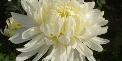 Белые хризантемы осеннего бала Никитского ботанического сада - 2013