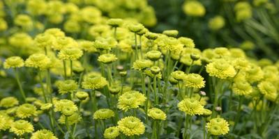 Зелёные хризантемы осеннего бала Никитского ботанического сада