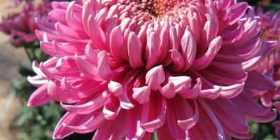 Розовые, сиреневые, лиловые крупноцветковые хризантемы осеннего бала Никитского ботанического сада