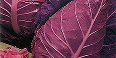 Краснокочанная капуста – овощная королева в пурпурной мантии