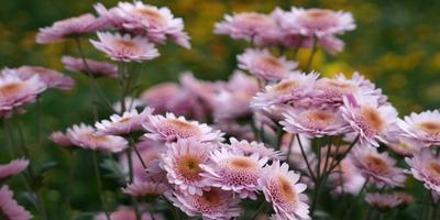 Розовые, сиреневые, лиловые мелкоцветковые хризантемы осеннего бала Никитского ботанического сада, часть 1