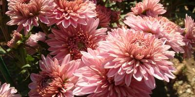 Розовые, сиреневые, лиловые мелкоцветковые хризантемы осеннего бала Никитского ботанического сада, часть 3