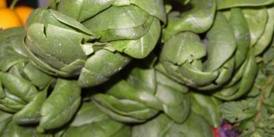 «Король овощей» - шпинат