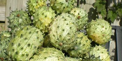 Экзотическая овощная лиана – ангурия