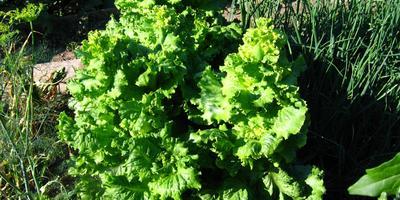 Декоративные свойства овощных растений: группы по продолжительности жизни