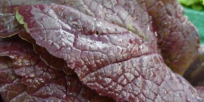 Капуста китайская – полезный круглогодичный овощ