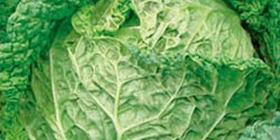 Капуста савойская – привлекательное чудо огорода, цветника