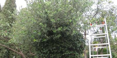 Обрезка декоративных деревьев