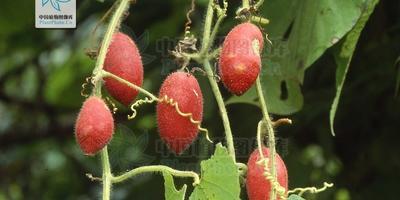 Тладианта сомнительная – экзотическая лиана с плодами 2-х вкусов: киви и ананаса