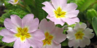 2 первоцвета – прекрасный и лечебный дар весны