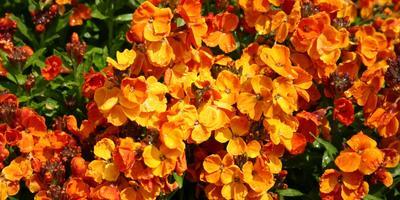 Нежный аромат лакфиоли