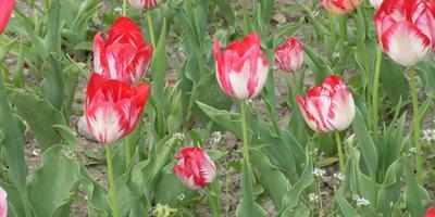 Тюльпан Пламенный – огонь любви, весны, мая