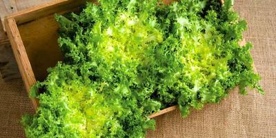 «Зеленые карусели» цикорных салатов: эндивия и эскариола