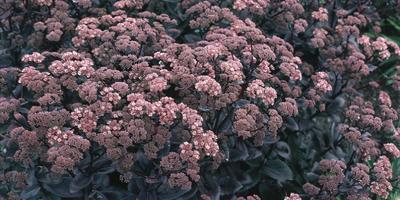 Знакомьтесь: очиток обыкновенный или заячья капуста
