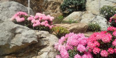 Рододендровое царство в японском саду