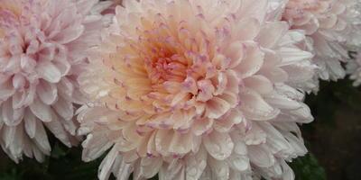 Хризантема – цветок долголетия и быстротечности жизни
