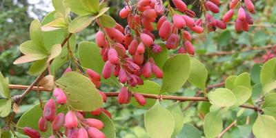 Что плодоносит в Никитском ботаническом саду в конце ноября?