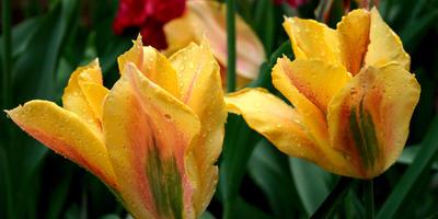 10 лучших сортов зеленоцветковых тюльпанов