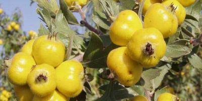 Боярышники: самые неприхотливые, декоративные виды, особенности выращивания