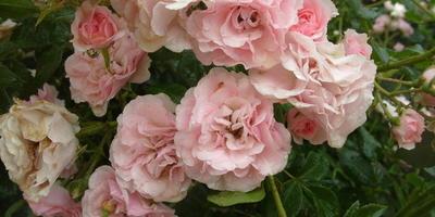 Лучшие сорта почвопокровных роз