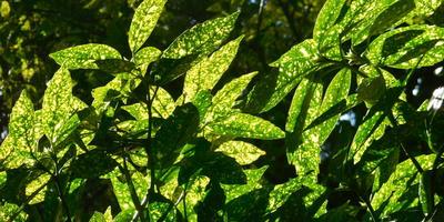 Пестролистные древесные – акценты дач