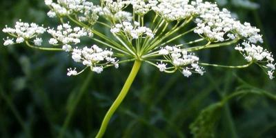 Библейские растения: травы, огородные растения, сорняки
