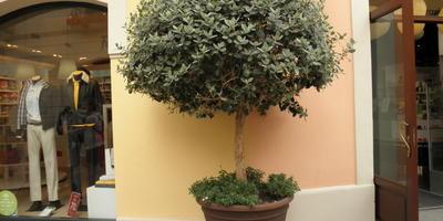 Кадочная культура – расширение границ выращивания теплолюбивых древесных растений