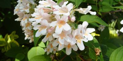 Кольквиция — красавица мая