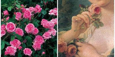 Старинные садовые розы