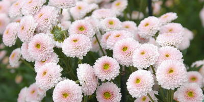 Бал хризантем 2016: мелкоцветковые сорта