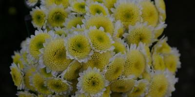 Хризантемное рандеву