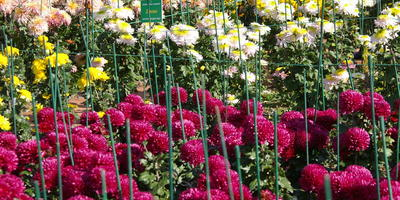 Хризантемы крупными мазками