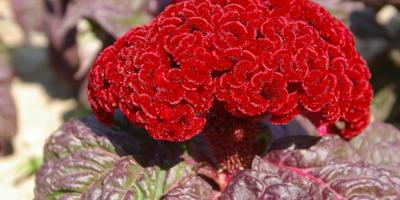 Краснолистные цветочные растения – акценты дачных цветников