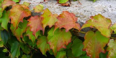 Ампелопсисы или виноградовники для вертикального озеленения дач