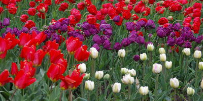 Апрель – месяц тюльпанов