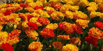 Новинки тюльпанов в Крыму 2017