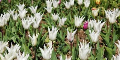 Белые тюльпаны для Светлан