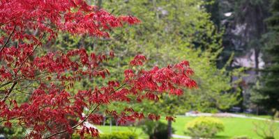 Краснолистные деревья - фавориты дач в королевских одеждах